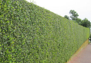 hedge-cutting-maintenance-mortlake